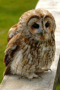 Pictures of the organisms the deciduous forest for Do owls eat fish